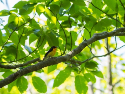soku_26429.jpg :: 動物 鳥 野鳥 自然の鳥 キビタキ