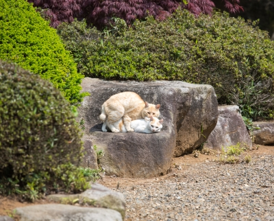 soku_26444.jpg :: 動物 哺乳類 猫 ネコ