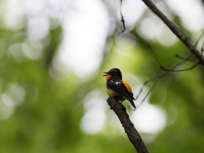 soku_26467.jpg :: 動物 鳥 野鳥 自然の鳥 キビタキ