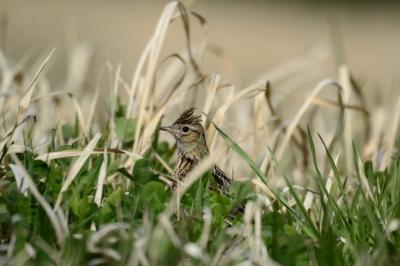 soku_26483.jpg :: 鳥 野鳥 自然の鳥 ヒバリ