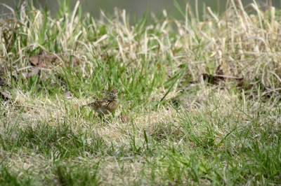 soku_26484.jpg :: 動物 鳥 野鳥 自然の鳥 ヒバリ