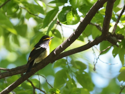 soku_26491.jpg :: 動物 鳥 野鳥 自然の鳥 キビタキ