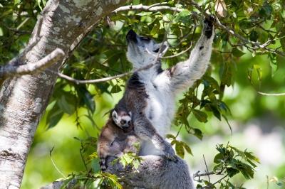 soku_26494.jpg :: 動物 哺乳類 猿 サル ワオキツネザル