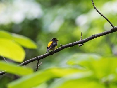 soku_26507.jpg :: 動物 鳥 野鳥 自然の鳥 キビタキ