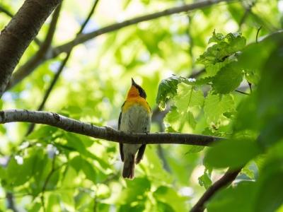 soku_26514.jpg :: 動物 鳥 野鳥 自然の鳥 キビタキ