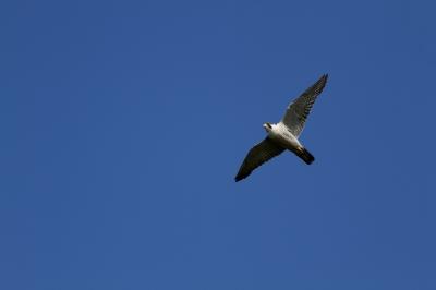 soku_26540.jpg :: 動物 鳥 猛禽類 ハヤブサ