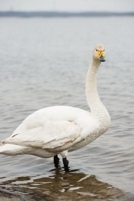 soku_26549.jpg :: 動物 鳥 アヒル