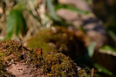 soku_26622.jpg :: 動物 鳥 野鳥 自然の鳥 未記入鳥