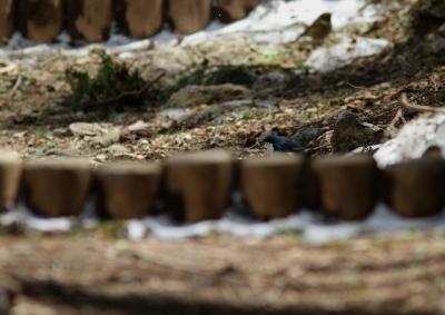 soku_26624.jpg :: 動物 鳥 野鳥 自然の鳥 コルリ