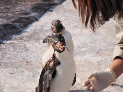 soku_26626.jpg :: 動物 鳥 ペンギン 飼育員 餌