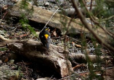 soku_26637.jpg :: 動物 鳥 野鳥 自然の鳥 ルリビタキ
