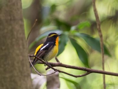 soku_26638.jpg :: 動物 鳥 野鳥 自然の鳥 ルリビタキ
