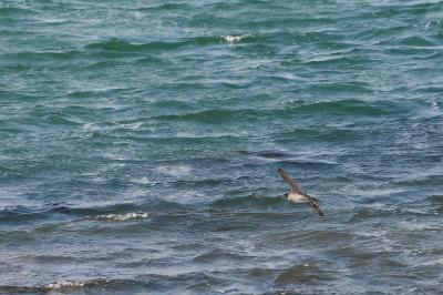 soku_26641.jpg :: 動物 鳥 海辺の鳥 チュウシャクシギ