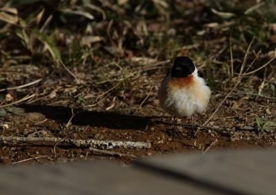 soku_26652.jpg :: 動物 鳥 野鳥 自然の鳥 ノビタキ