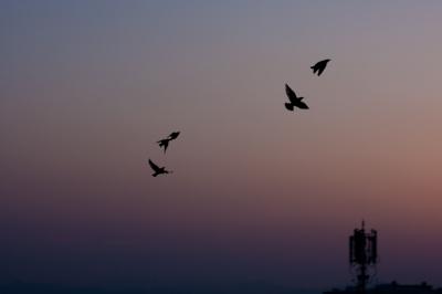soku_26687.jpg :: 夕暮れ 動物 鳥 野鳥 自然の鳥