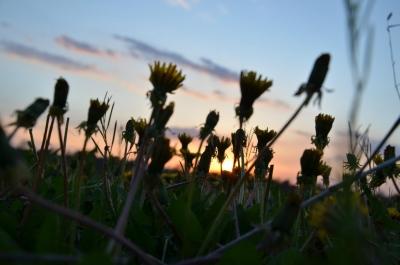 soku_26730.jpg :: 風景 自然 空 夕日 夕焼け 日没 植物 花 タンポポ
