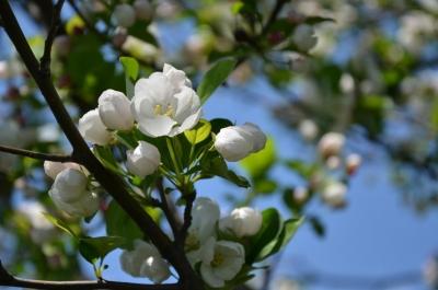 soku_26748.jpg :: 植物 花 桜 サクラ