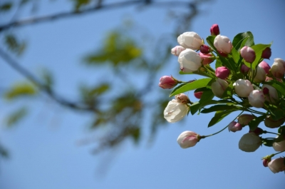 soku_26749.jpg :: 植物 花 桜 サクラ つぼみ