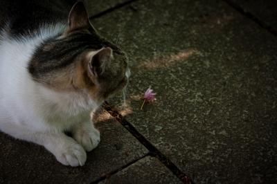 soku_26754.jpg :: ネコ 桜