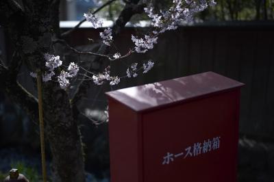 soku_26780.jpg :: 風景 植物 花 桜 サクラ ホース格納箱