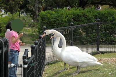 soku_26790.jpg :: 動物 鳥 白鳥 ハクチョウ 子供 女の子