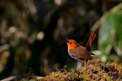 soku_26831.jpg :: 動物 鳥 野鳥 自然の鳥 コマドリ