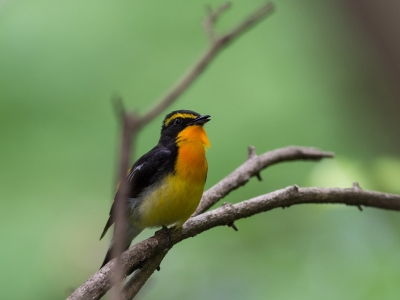 soku_26832.jpg :: 動物 鳥 野鳥 自然の鳥 キビタキ
