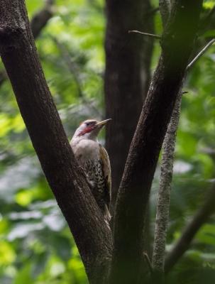 soku_26839.jpg :: 動物 鳥 野鳥 自然の鳥 アオゲラ