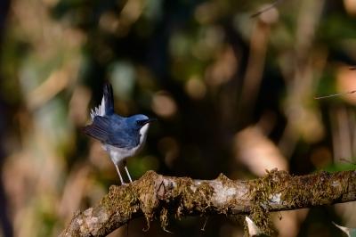 soku_26850.jpg :: 動物 鳥 野鳥 自然の鳥 コルリ