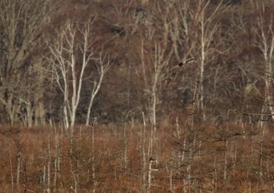 soku_26904.jpg :: 動物 野鳥 自然の鳥 フクロウ 高原 湿地 やわらか銀行3