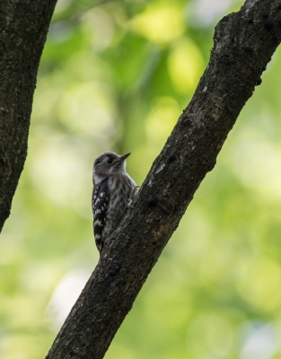 soku_26933.jpg :: 動物 鳥 野鳥 自然の鳥 コゲラ