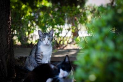 soku_26944.jpg :: 動物 哺乳類 猫 ネコズ