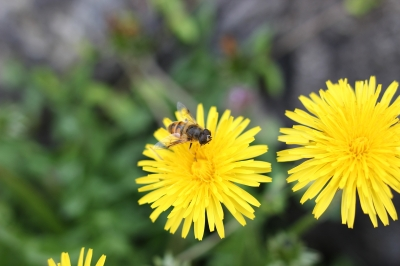 soku_26948.jpg :: 植物 花 タンポポと蜂