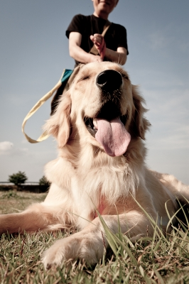 soku_26951.jpg :: 動物 ペット 犬 ゴールデンレトリバー