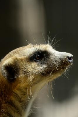 soku_26955.jpg :: 動物 哺乳類 フェレット