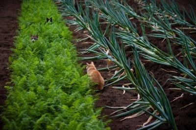 soku_26971.jpg :: 風景 自然 畑 野菜畑 動物 哺乳類 猫 ネコ