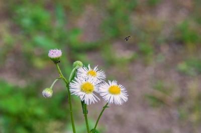 soku_26977.jpg :: 植物 草花 ハルジオン
