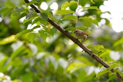 soku_26995.jpg :: 動物 鳥 野鳥 自然の鳥 ウグイス 鶯