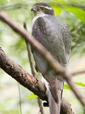 soku_26998.jpg :: 動物 鳥 猛禽類 大鷹 オオタカ