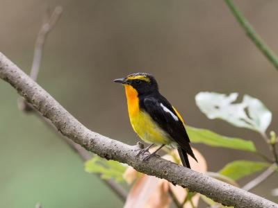 soku_27010.jpg :: 動物 鳥 野鳥 自然の鳥 キビタキ
