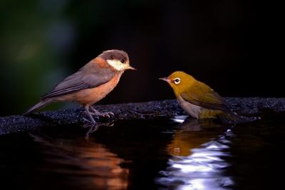 soku_27019.jpg :: 動物 鳥 野鳥 自然の鳥 ヤマガラ メジロ