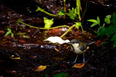 soku_27020.jpg :: 動物 鳥 野鳥 自然の鳥 シジュウカラ