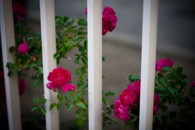 soku_27069.jpg :: 植物 花 薔薇 バラ