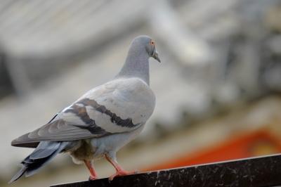 soku_27072.jpg :: 動物 鳥 鳩 ハト