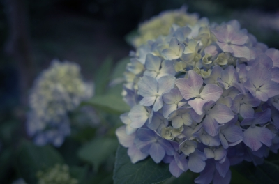 soku_27079.jpg :: 植物 花 紫陽花 アジサイ