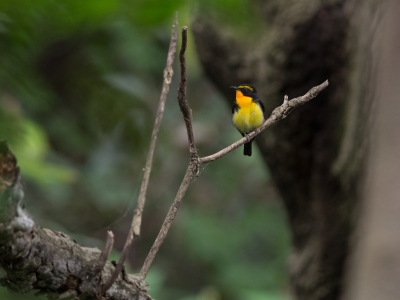 soku_27197.jpg :: 動物 鳥 野鳥 自然の鳥 キビタキ
