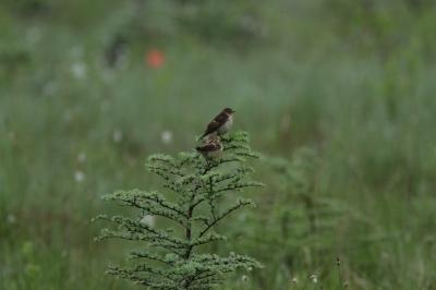 soku_27305.jpg :: 動物 鳥 野鳥 自然の鳥 ノビタキ