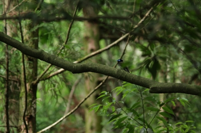 soku_27306.jpg :: 動物 鳥 野鳥 自然の鳥 サンコウチョウ