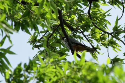 soku_27308.jpg :: 動物 鳥 野鳥 自然の鳥 チゴハヤブサ