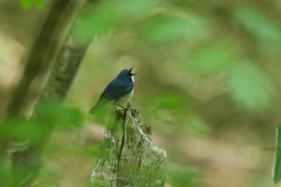 soku_27322.jpg :: 動物 鳥 野鳥 自然の鳥 コルリ